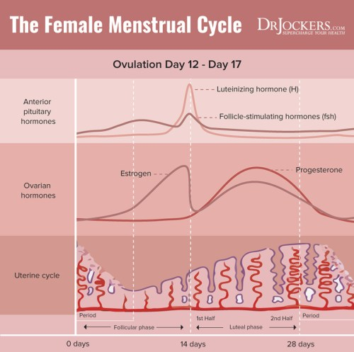 small resolution of  end of the cycle consists of a sharp drop in both estrogen and progesterone this signals the shedding of the built up uterine lining through menses