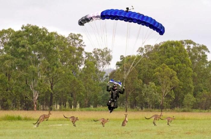 Skydivers landing his canopy with Kangaroos at Skydive Ramblers