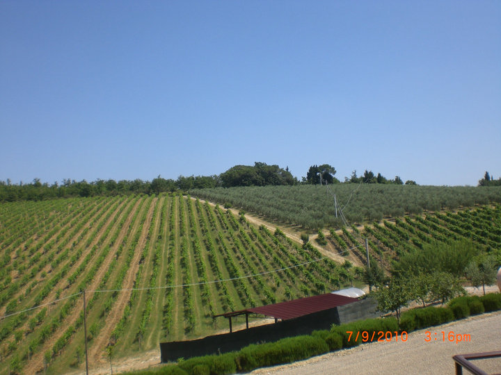 A stretch of Sangiovese grape vines