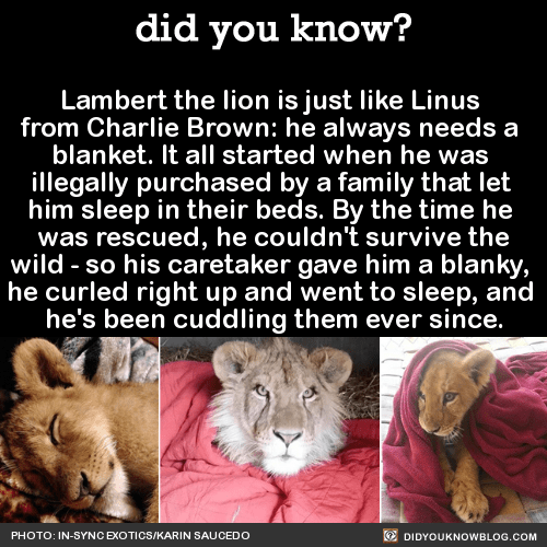 """Lambert the lion is just like Linus  from Charlie Brown: he always needs a  blanket.Lambert had to be relocated from his 'home' after the man who purchased him realized he couldn't properly care for him. He had acquired Lambert after taking his 2-year-old and 3-year-old kids to see the Lion King. They told him they wanted a Simba, so he went out and bought them one. Illegally. After 3 months, they decided to give him away, and he was eventually taken to the In-Sync Exotics rescue.When he arrived at his new enclosure, Lambert started pacing around, showing signs of anxiety. """"We had heard from the previous owners that he slept in the bed with the grandfather.""""""""I started thinking, 'Okay, he's used to being in a house, he's used to sleeping in the bed with grandpa.' So I got him a blanket, went into the enclosure and put the blanket in one of the corners.""""He curled up on that blanket and he went right to sleep. Ever since then, I always give him a blanket.""""And he always loooooves it.HT/ The Dodo Photos via In-Sync Exotics"""