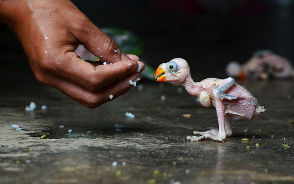politics-war:</p><br /> <p>An Indian parrot hatchling is fed by hand in Dimapur on July 24, after being caught in a forest by a local hunter and offered for sale in the northeastern Indian state of Nagaland.<br /><br />