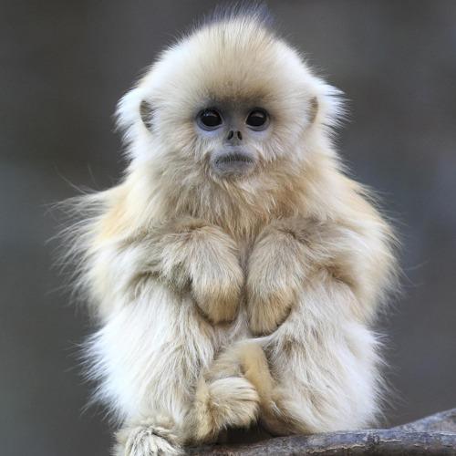 Cute Baby Monkeys Wallpaper Animals Cute Monkey China Golden Snub Nosed Monkey