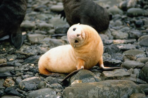 Baby Antarctic Fur Seal
