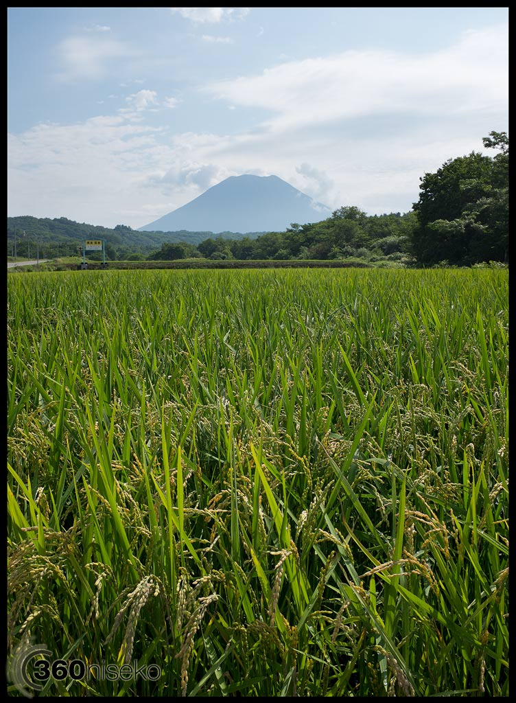 Beautiful Niseko Rice, 20 August 2013