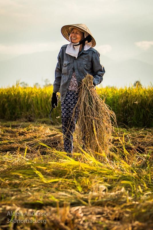 Mai harvesting rice, Hoi An, Vietnam