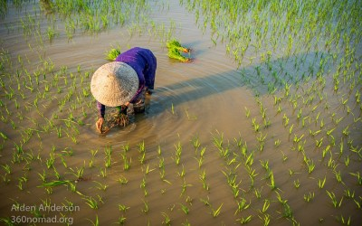 Planting Rice, Hoi An, Vietnam