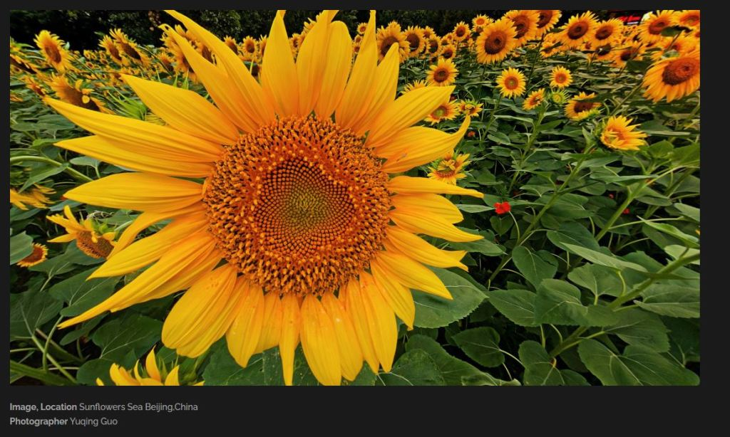 crop view of sunflower field panorama by Yuqing Guo