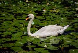 swan2.3