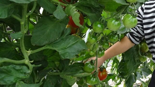 「野菜の収穫」(2)