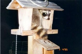 Post - 8 Moate - Raccoon Spotting