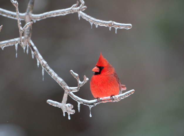 Birds of Barrington with Wendy Paulson - Northern Cardinal