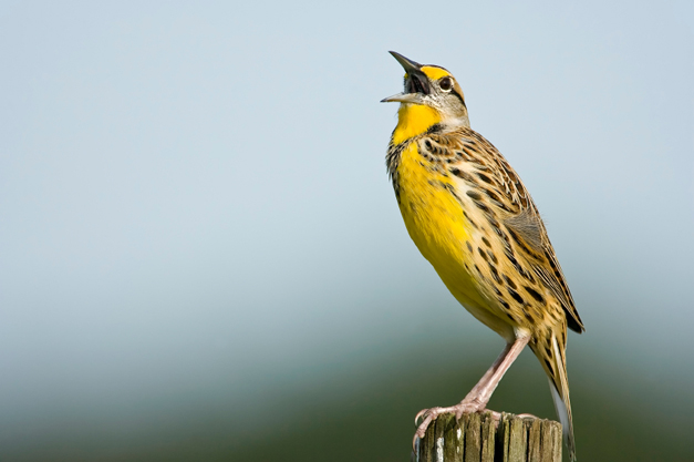 Birds of Barrington: Eastern Meadowlark, the Flautist of Prairies