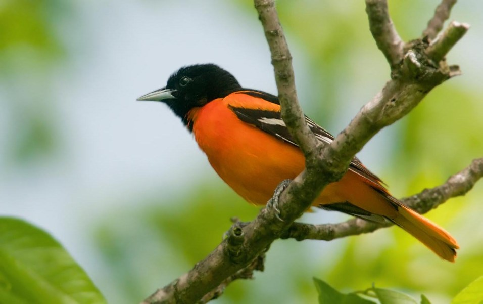 Post - Birds of Barrington - Baltimore Oriole