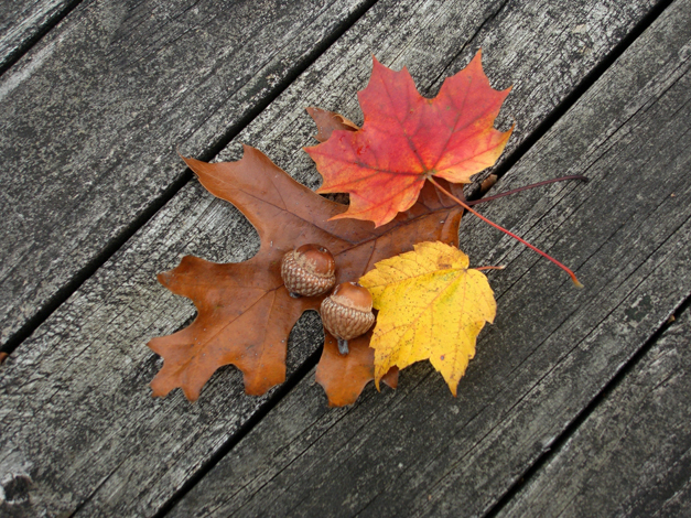 Bring Acorns to Citizens for Conservation's Festival of the Oaks