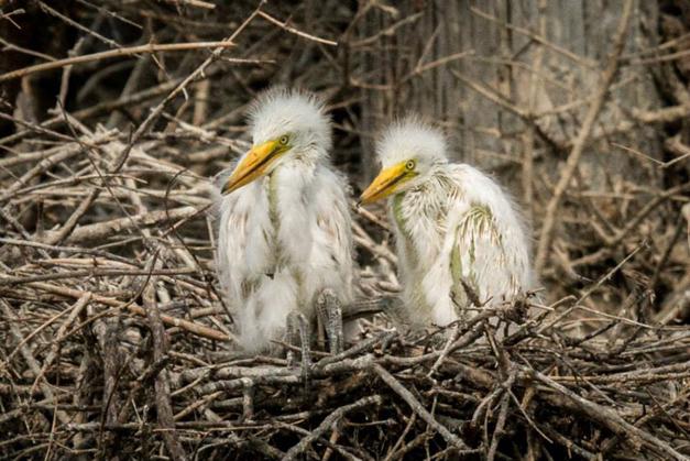 Baby Egrets - Photo by Diane Bodkin