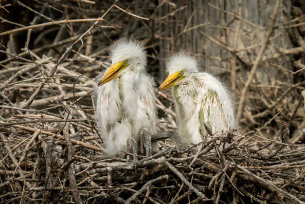 Baby Egrets - Photo by Diane Bodkin