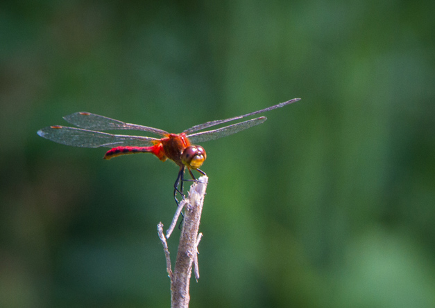 Red Dragonfly - Photo by Diane Bodkin