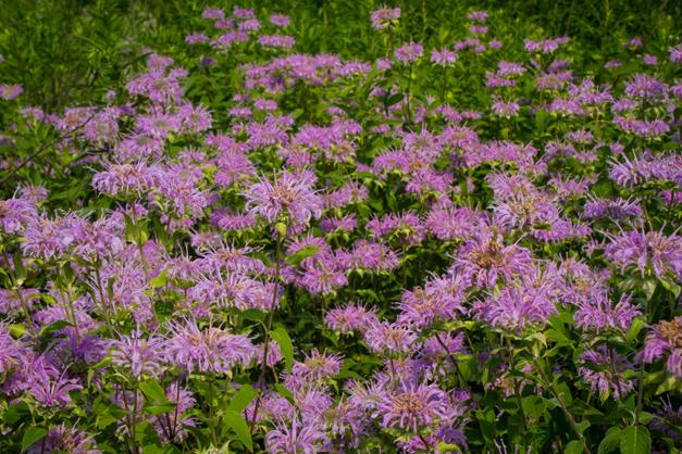 Monarda in Bloom - Photo by Diane Bodkin
