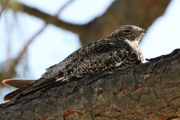 Post - Common Nighthawk
