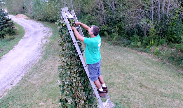 Hops Harvest at the Wild Onion Brewery