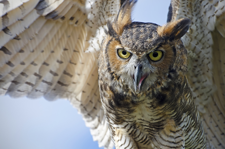 Wendy Paulson's Birds of Barrington: Great Horned Owl (Bubo Virginianus)