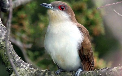 Birds of Barrington with Wendy Paulson: Black-billed Cuckoo