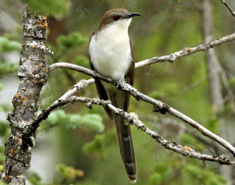 Black-billed Cuckoo - 2