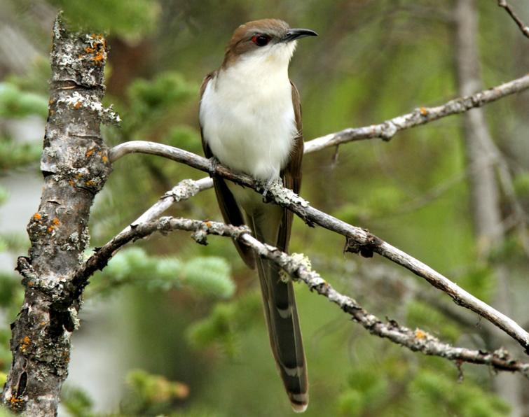 Black-billed Cuckoo - 2