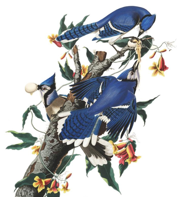 blue-jay-john-james-audubon
