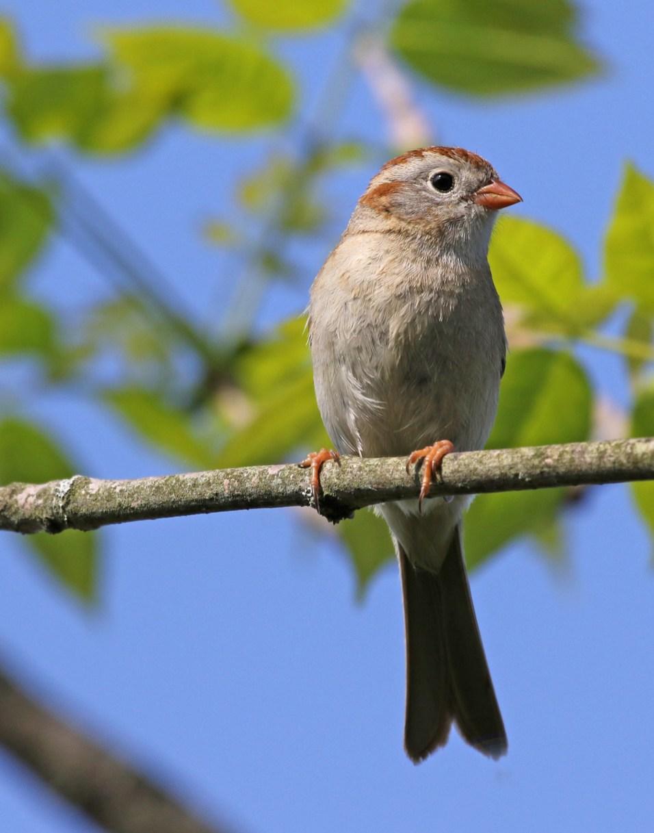 Wendy Paulson Birds Barrington Field Sparrow Spizella pusilla