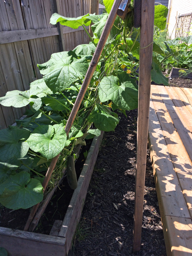 cucumbers growing on a garden trellis