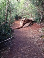 First of many trees on the trail. This was easy because someone had cut it down. The rest..not so much.