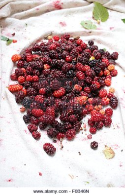 freshly-picked-and-fallen-mulberries-ripe-fruit-of-the-mulberry-tree-f0b46n