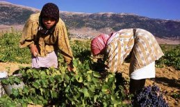 harvesting-in-vineyard-of-007