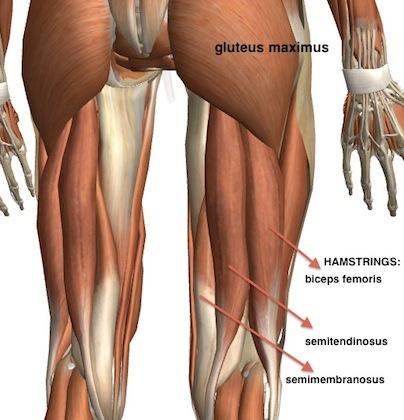 hamstrings muscles