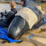 Τασμανία : Eκατοντάδες φάλαινες παγιδευμένες σε ακτή – 380 ήδη νεκρές