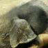 Поголовна сеч на 17 000 свине в Николово