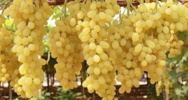 Ето така вече трета година асмата на двора натежава от плод наесен (по 800 гр. на чепка)