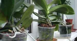 Какво да правим ако орхидеята не иска да цъфти-Супер прост способ който я кара бързо да цъфне