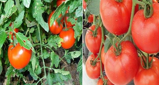 С този разтвор ще имате пребогата доматена реколта