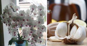 Защо поставям скилидка чесън в саксията със стайни растения? Цветята ми полудяха а орхидеите ми не спират да цъфтят!