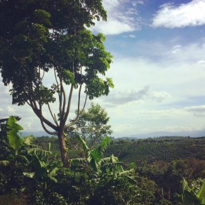 Looking over the coffee fields in the Central Valley