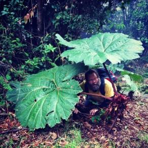 Hiding under the Poor Man's Umbrella tree at Volcan Poas