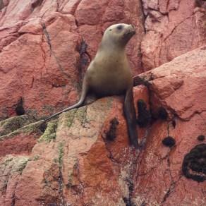 Sea Lion at Ballestas Islands
