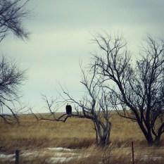 Bald Eagle, NE