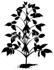 Sprouted Soybean Plant Silhouette With Leaves, and Bean