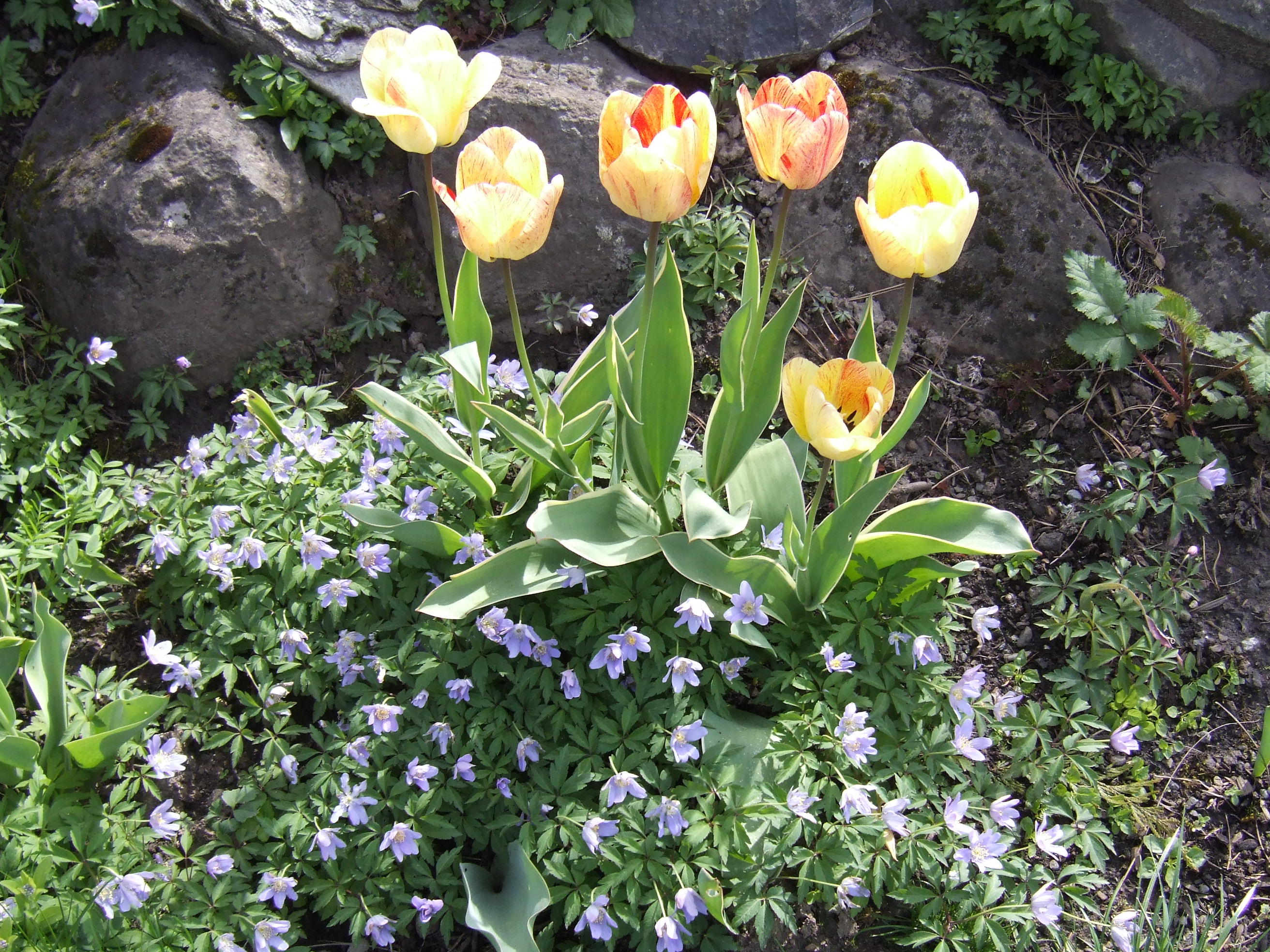 Anenome blanda and tulips