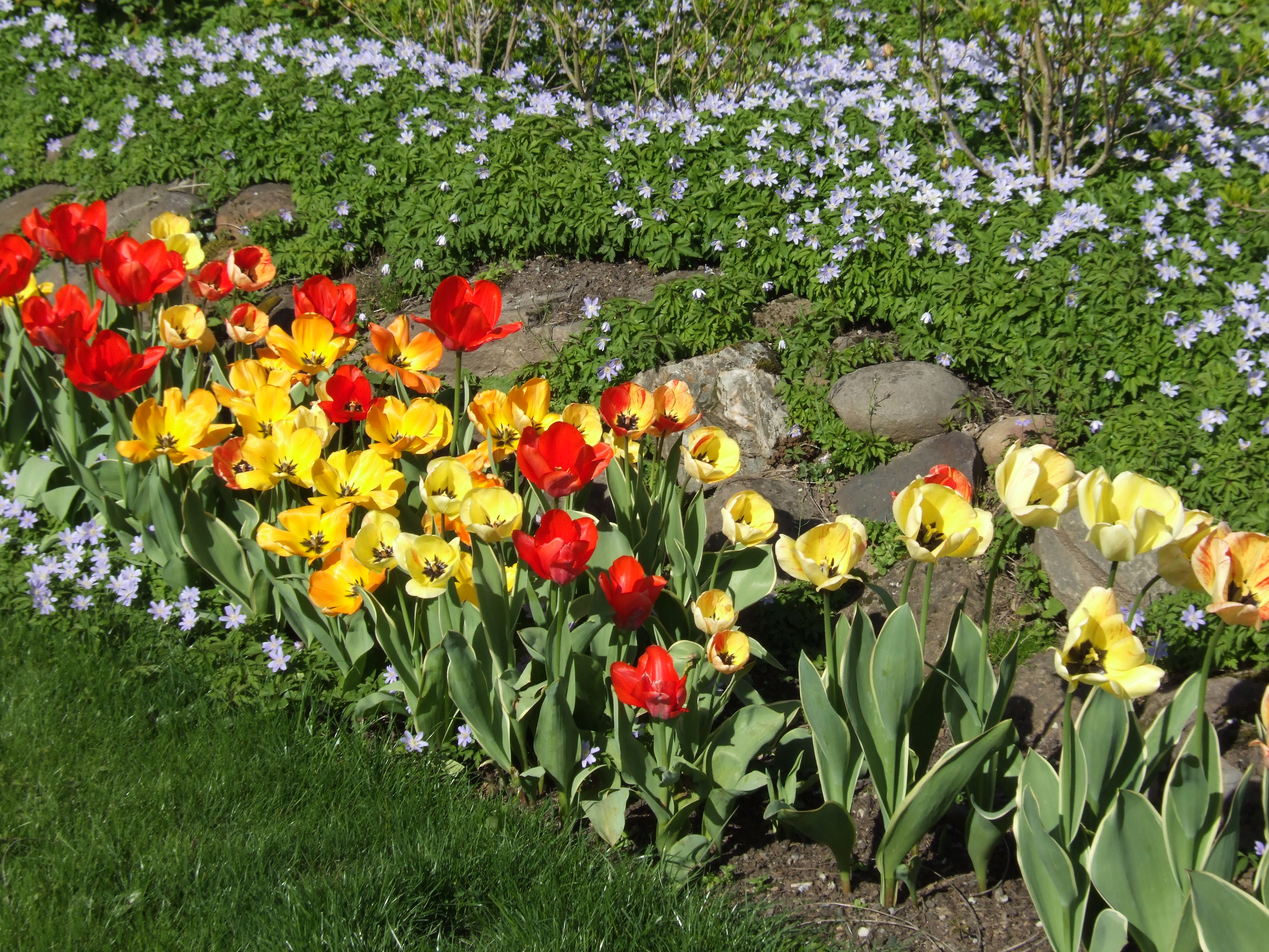 Tulips - Daydream, Silverstream and others