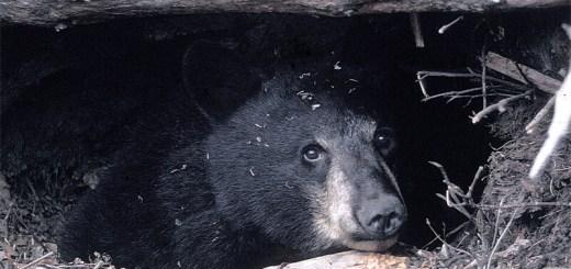 EE.UU. acaba de hacer oficial cazar osos durante su hibernación