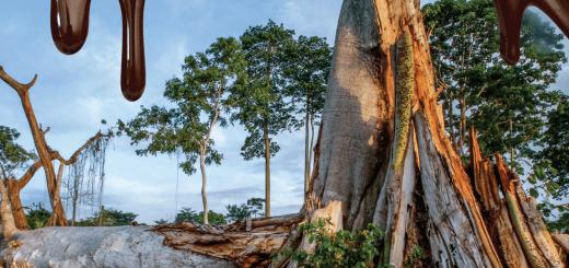 Cacao Ilegal, Deforestación de zonas protegidas en África